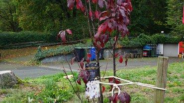 Blutpflaume, Baum mit dunkelroten Blättern